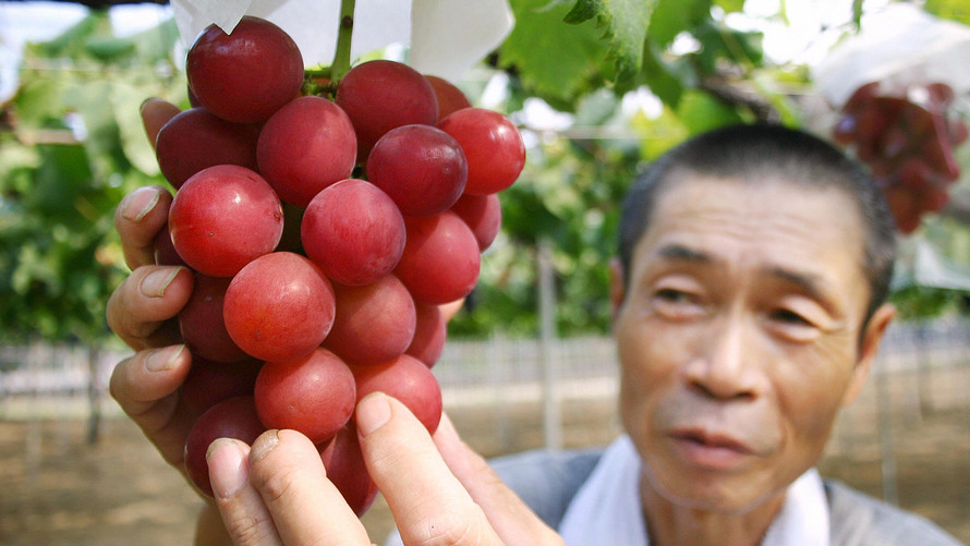 Did you know! The price of a single piece of Japanese grapes may reach Rs. 30,000.